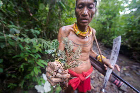 Mentawai shaman gathering medicinal plants in the rainforest