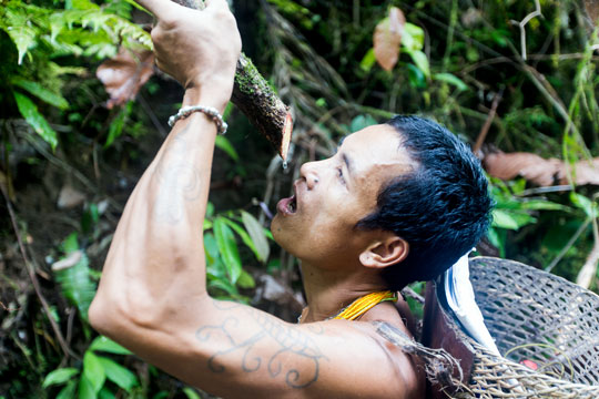 Mentawai man drinking water from a vine in the Siberut rainforest